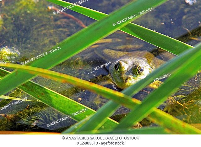 An American Bullfrog Rana catesbeiana, an invasive species on Crete