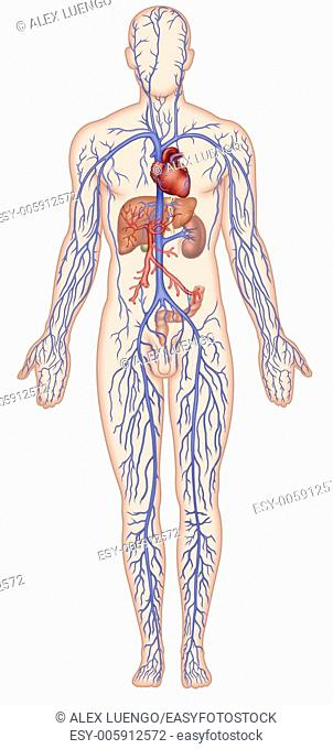 Illustration Human figure with venous system, heart vein system, superior vena cava, which collects blood from the head and upper limbs, and finally