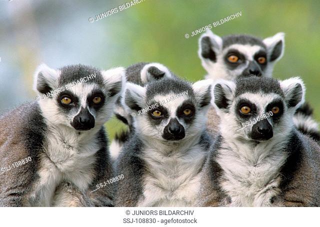 Lemur catta / ring-tailed lemur