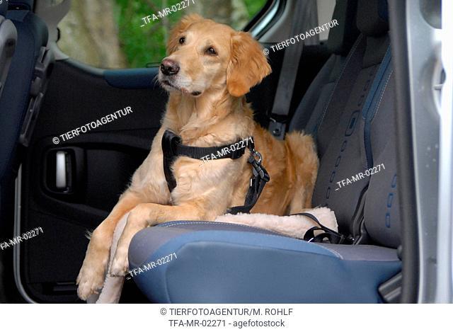 strapped dog