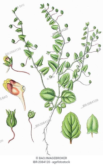Sharpleaf cancerwort or Sharp-leaved fluellin (Kickxia elatine), medicinal plant, useful plant, chromolithography, 1888