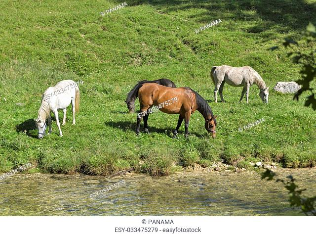 Horses grazing in a meadow near the mountain river