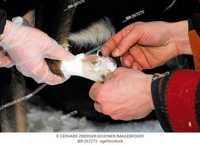Musher applying salve to husky paw