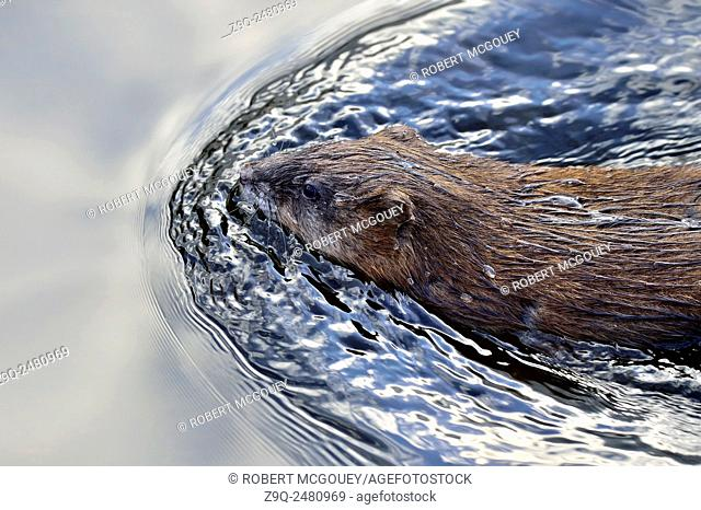 Close up image of a wild muskrat 'Ondatra zibethicus', swimming in a calm beaver pond near Hinton Alberta Canada
