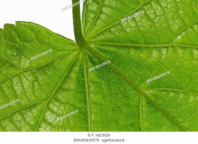 large-leaved lime, lime tree (Tilia platyphyllos), lime leaf, lower side, cutout