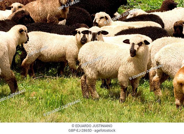 Creation of Sheep (Ovis aries), Bom Jesus, Rio Grande do Sul, Brazil