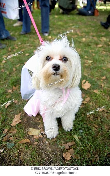 A white dog dressed like a princess in a park on a leash