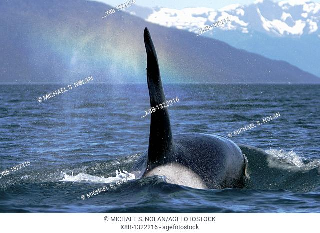 Transient Bull Orca Orcinus orca - also called Killer Whale - travelling note rainbow in blow in Stephen's passage, Southeast Alaska, USA  Pacific Ocean