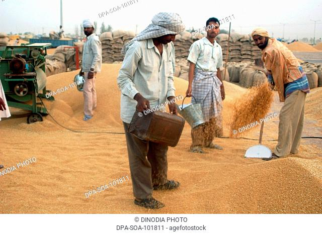 Wheat harvesting ;  Amritsar ; Punjab ; India