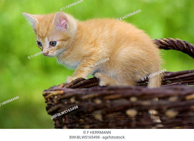 domestic cat, house cat Felis silvestris f. catus, climbing on a basket