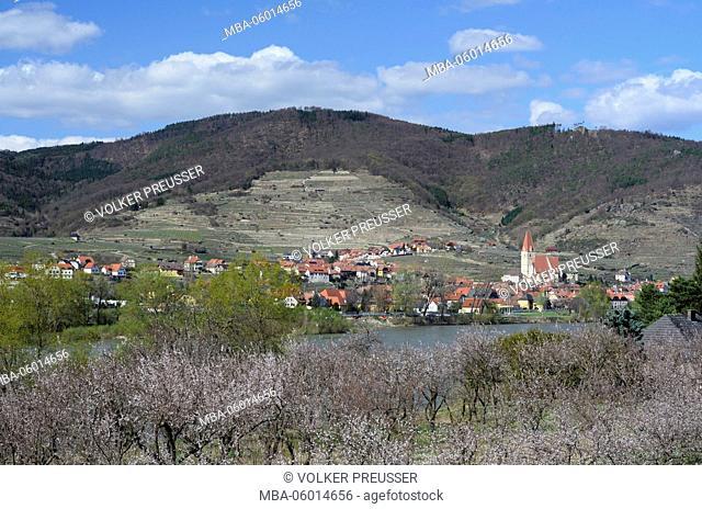 blossoming apricot trees, the Danube and Weißenkirchen, Austria, Lower Austria, Wachau, Weißenkirchen in the Wachau