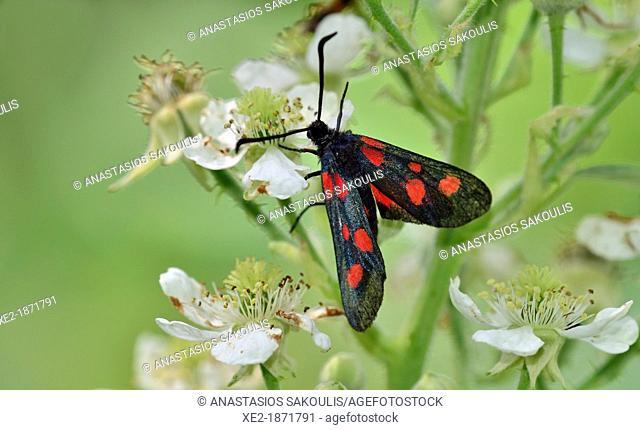 Narrow-Bordered Five-Spot Burnet Zygaena lonicerae, Greece