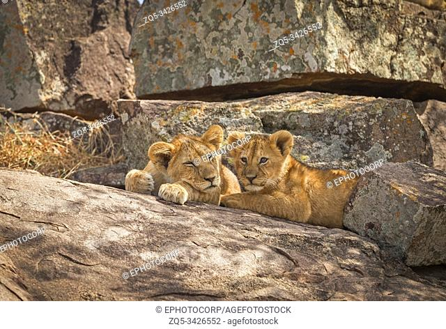 Lion cubs, Panthera leo, Resting on rock, Maasai Mara, Africa