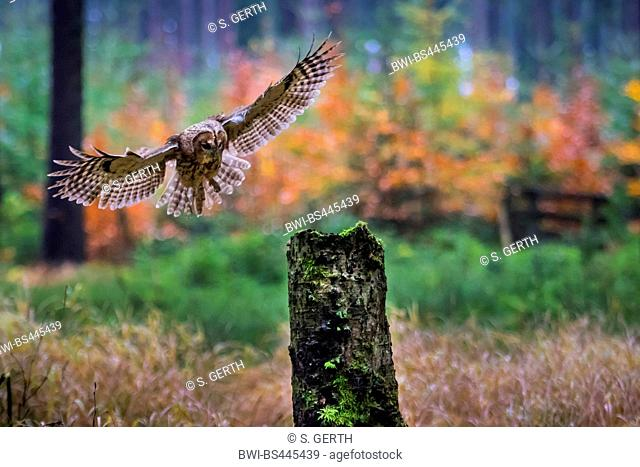long-eared owl (Asio otus), landing in an autumn forest on a tree stump, front view, Czech Republic, Hlinsko