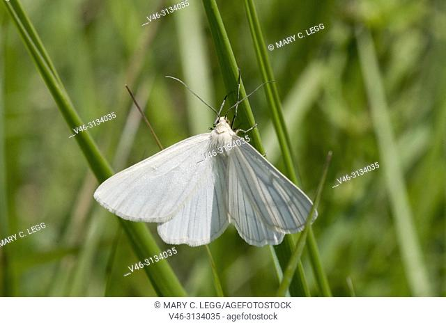 Black-veined Moth, Siona lineata, a large white moth marked by black veins. Diurnal Geometrid. Looper caterpillar. Foodplants: Salix, Vicia, Galium, Viburnum