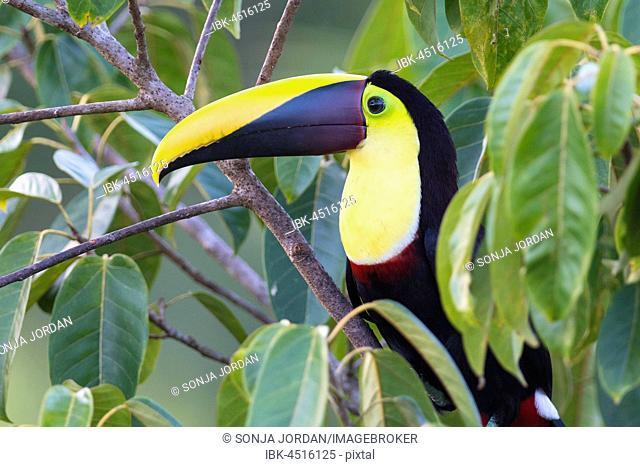 Yellow-throated toucan (Ramphastos ambiguus) sitting in tree, rainforest, Boca Tapada, Costa Rica