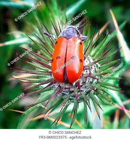 A ladybug perches on a thorny plant in Prado del Rey, Sierra de Grazalema, Andalusia, Spain