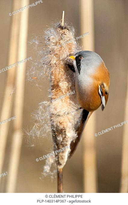 Bearded Reedling / Bearded Tit (Panurus biarmicus) male eating seeds from spike of common bulrush / broadleaf cattail (Typha latifolia) in reed bed in winter