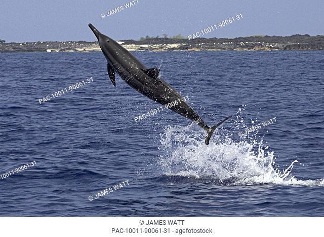 Hawaii, Big Island, Kona, Hawaiian long-snouted spinner Dolphin (Stenella longirostris) leaping in the air