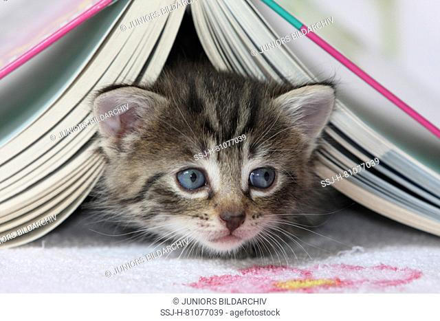 Domestic cat. Kitten under a book. Germany