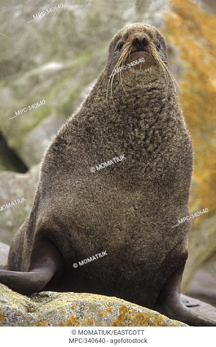 NORTHERN FUR SEAL (Callorhinus ursinus) ADULT NON-TERRITORIAL MALE ON COASTAL ROCKS, PAUL ISLAND, THE PRIBILOFS, ALASKA