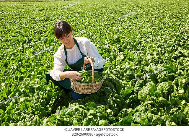 Farmer harvesting spinach, Agricultural field, Funes, Navarre, Spain
