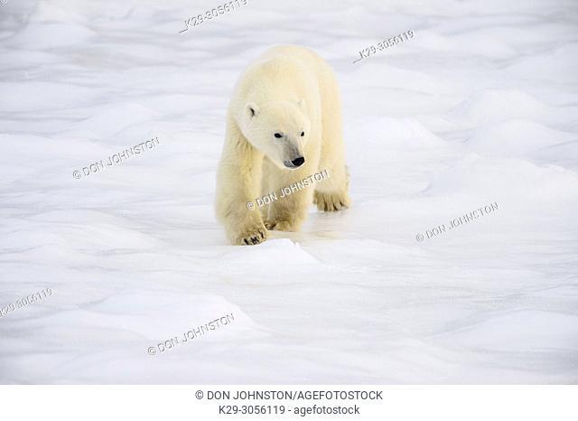 Polar Bear (Ursus maritimus) Wandering Hudson Bay coast waiting for sea ice, Churchill Wildlife Management Area, Churchill, Manitoba, Canada