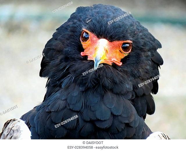 Bateleur Eagle at a birds of prey centre