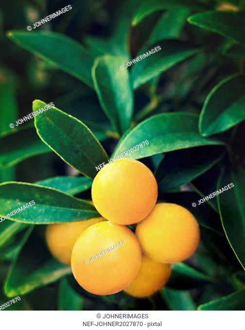 Yellow fruit on twig