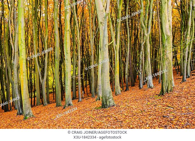 Beech Trees in a woodland in autumn  Prior's Wood, Portbury, North Somerset, England