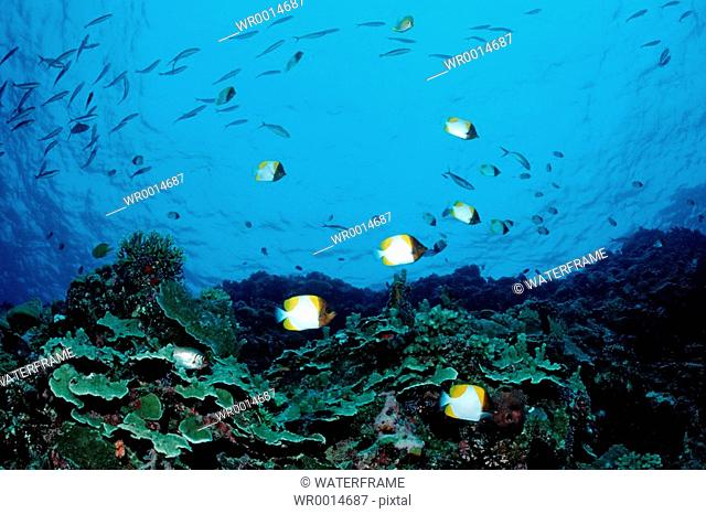 Pyramid Butterflyfishes over Coral Reef, Hemitaurichthys polyepis, Pacific, Micronesia, Palau