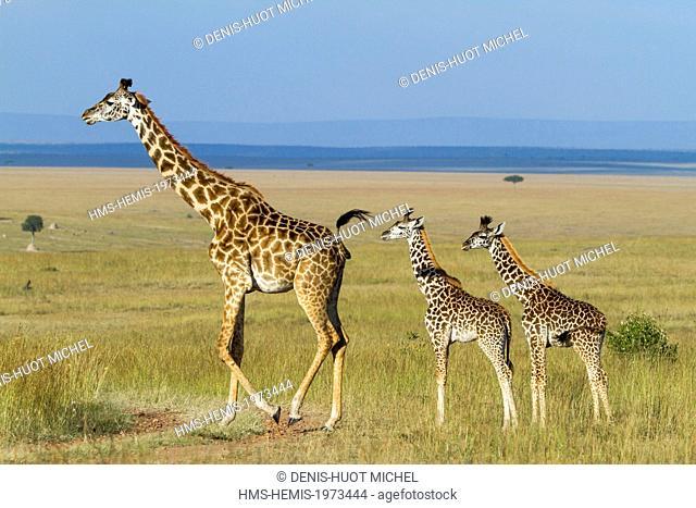 Kenya, Masai Mara game reserve, Girafe masai (Giraffa camelopardalis), a female looking after two young ones