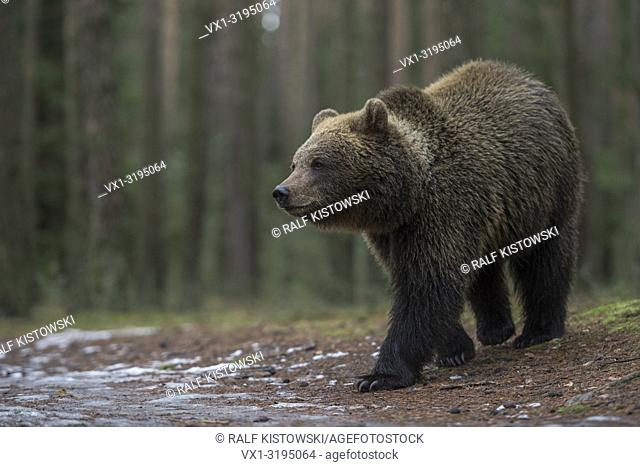 Eurasian Brown Bear (Ursus arctos), strong and powerful, walks slowly through a boreal forest over a little hill top, Europe