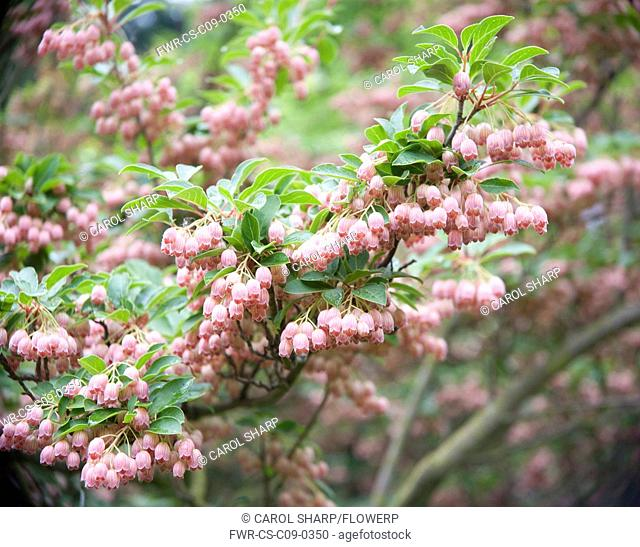 Enkianthus campanulatus, Red bells, Pink subject