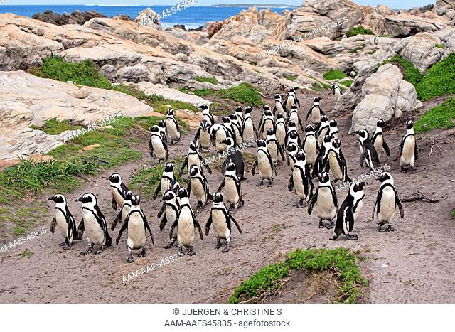Jackass Penguin, Spheniscus demersus, Betty's Bay, South Africa, group of adults walking on beach