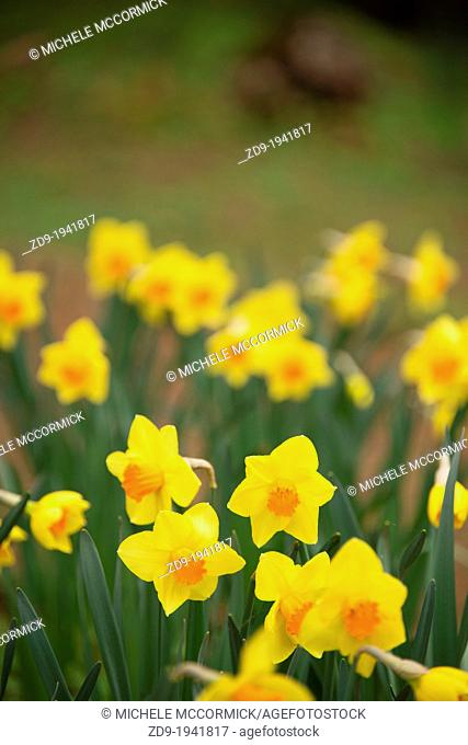 Spring daffodils in bloom