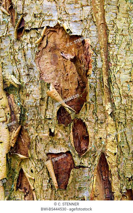 common birch, silver birch, European white birch, white birch (Betula pendula, Betula alba), bark of a dead tree, Germany, North Rhine-Westphalia