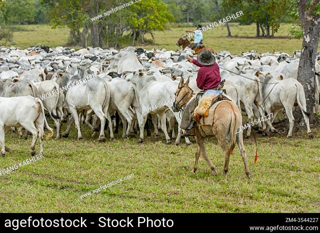 Pantaneiros (local cowboys) rounding up cattle on the Caiman Ranch in the southern Pantanal in the Mato Grosso province of Brazil