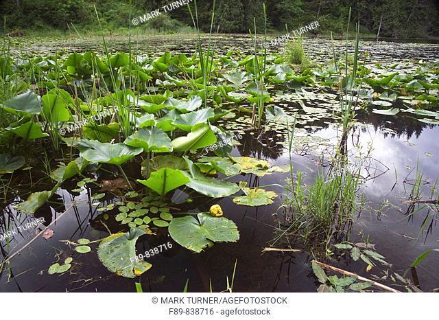Yellow pond-lilies on pond