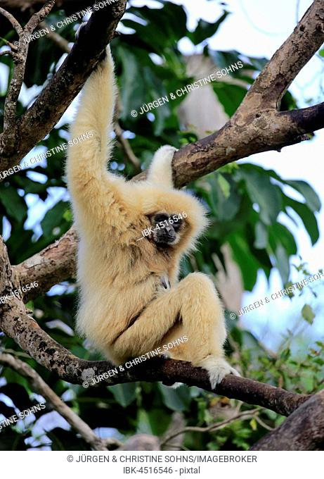White hand gibbon, Lar (Hylobates lar), adult female on tree, Occurrence in Southeast Asia, captive