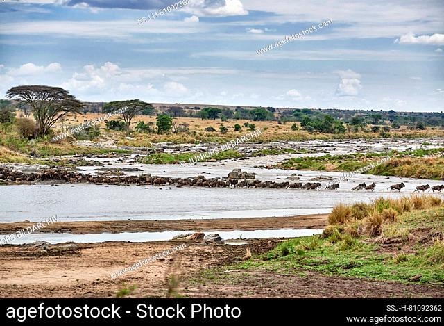 Herd of white-bearded wildebeest (Connochaetes taurinus mearnsi) crossing Mara River during annual migration, Serengeti National Park
