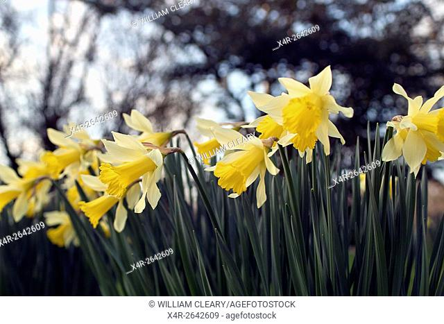 Daffodils in an Irish garden