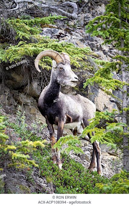 Stone Sheep (Ovis dalli stonei) ram, Muncho Provincial Park, British Columbia, Canada