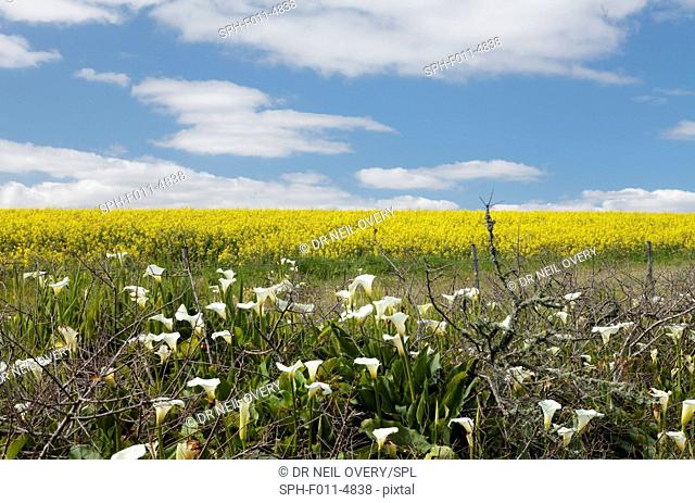 Calla lilies (Zantedeschia aethiopica) and field of rapeseed (Brassica rapa) near Darling, Western Cape, South Africa
