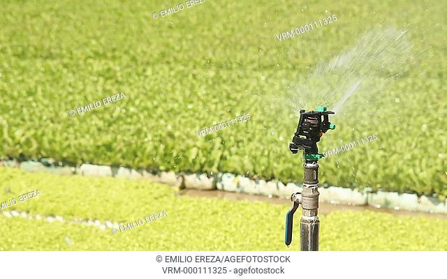 Sprinkler watering. Balaguer, Lleida, Catalonia, Spain