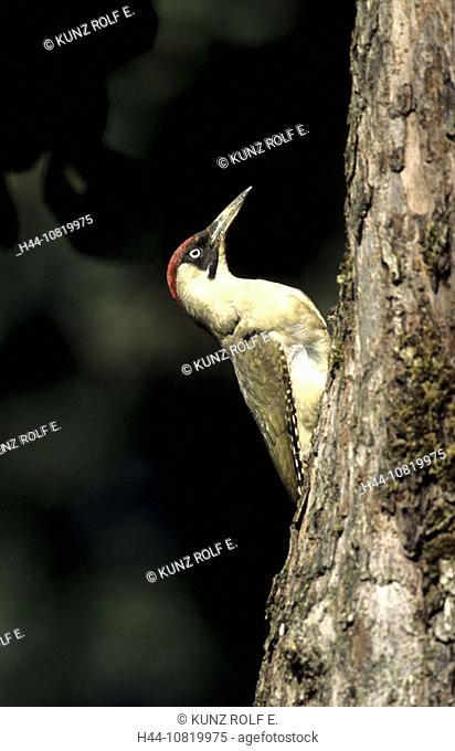 Green woodpecker, Picus viridis, female, trunk, animals, birds, Switzerland, Europe