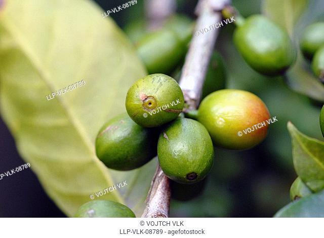 The green unripe grain of koffe on tree
