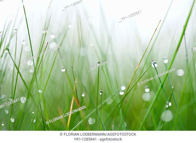 Makro shot of grass with early morning dew. Shallow DOF