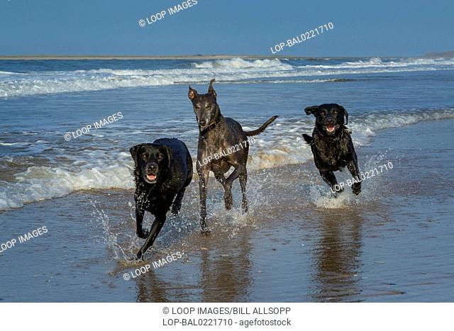 Dogs playing in the sea