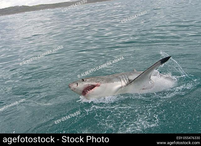 Great White Shark, Carcharodon carcharias, Gansbaai, Western Cape, South Africa, Africa